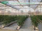 Hydroponik Greenhouse für Tomato Bearbeitung