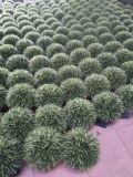 Piante e fiori artificiali dell'albero Gu828273888 del Boxwood