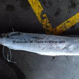 Marlin noir congelé par nourriture aquatique