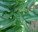 Banabaの葉のエキスCAS 4547-24-4 Corosolicの酸無し