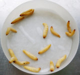 Larves sous tension de Mellonella de Galleria d'insecte à vendre