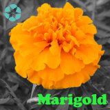 Extrato do Marigold/extrato/Lutein/Zeaxanthin de Tagetes Erecta
