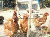 Engranzamento de fio da galinha/rede de fio sextavada com preço do competidor