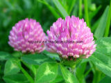 Выдержка красного клевера выдержки Pratense Trifolium естественная