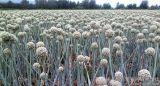 100%の自然な塊茎のタマネギのシードのエキスの粉
