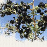 L'efficace nero Gojiberry dell'alimento della nespola