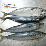 De super Bevroren Vreedzame Makreel van Zeevruchten