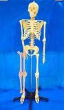 168 Cm Modelo de hueso esquelético humano plástico para demostración Médica (R020103A)