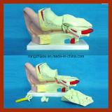 Modèle anatomique de grande oreille humaine de 4 fois (4 parties)