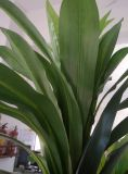 Aritificial Dracaena Angustifolia 판매 잘