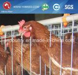 Jaula de la capa del pollo de las aves de corral a Argelia/al Camerún