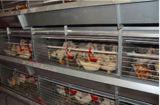 H de Kooi van de Jonge kip van het Type voor het Landbouwbedrijf van het Gevogelte