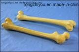 Physiothérapie orthopédique pratiquant le modèle osseux pour la formation