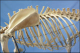 R190126熱い販売犬の大きい犬の骨組モデル
