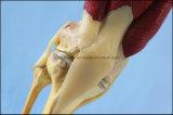 Tipo modello umano dello scrittorio della giuntura di ginocchio del modello con i muscoli ed i legamenti