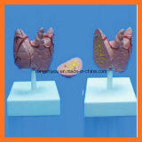 Het medische Onderwijs Natuurlijke Model van Thyroidea van de Grootte