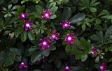 Zonne Pruim Blossomstring Lichte 10 LEDs