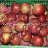 2016 nueva estrella roja fresca Apple con buena calidad