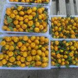 Mandarino fresco e dolce del bambino