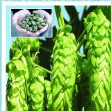 10:1 organique d'extrait de fleur d'houblon