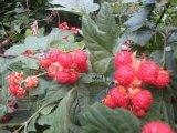 유기 나무 딸기 Hr 16090901를 어는 IQF