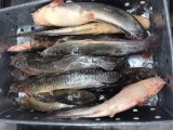 中国のフリーズされた猫の魚の工場価格