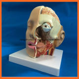 Modelo de ensino anatômico do cérebro médico da cabeça humana dos produtos