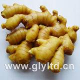 생강 또는 신선한 생강 또는 Air-Dried 생강 또는 Globalgap에 의하여 증명되는 생강