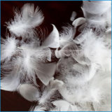 De witte Veer van de Gans met 24cm voor het Vullen
