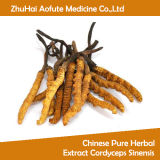 Extrato erval puro chinês Cordyceps Sinensis