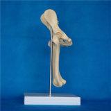Модель анатомирования Hip соединения собаки поясничная каркасная для учить (R190115)