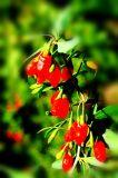 Gebürtiger traditioneller Chinese Nahrung getrocknetes Wolfberry