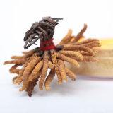 中国の最もよい品質のCordycepsの菌糸体のエキスの粉