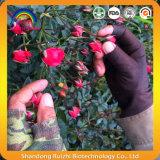 Gesunde Getränke Rose knospt Tee für Haut-Sorgfalt