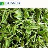 Estratto decaffeinato del tè verde di alta qualità