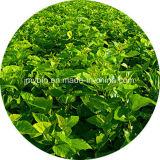 Heißer Verkaufs-reiner Maulbeere-Blatt-Auszug 1-Deoxynojirmycin 1%-30%