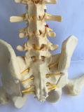 Natural de la espina dorsal fémur Modelo del esqueleto humano utilizado para la práctica médica (R020711)