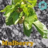 Maulbeere-Blatt-Auszug/Morus alba Auszug/Dnj