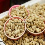 Cacahuetes asados Inshell para la nueva cosecha de la venta