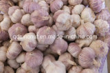 Crop novo Purple White Garlic (6.5cm&up)