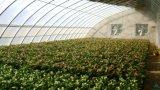 太陽温室の温室/温室育ち/大きい栽培者
