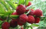 Myricetin, het Uittreksel van de Schors Bayberry, Dihydromyricetin 80%90%, 98%