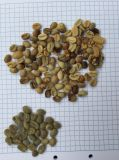 Máquina caliente del compaginador del color del grano de café de Vietnam de la venta