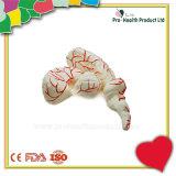 동맥 배급을%s 가진 인간 두뇌 해부학 모형