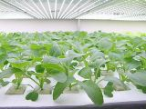 Crescer o espetro cheio do bulbo 9W para plantas internas