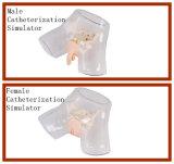 Professione d'infermiera che addestra simulazione uretrale maschio trasparente di cateterizzazione