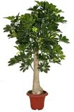 Hot Sale Decoration Plantas artificiais Seven Star Leaf Bonsai