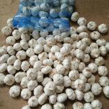 5.0cm in 10kg Mesh Bag Fresh Pure White Garlic