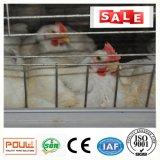 Matériel de ferme de poulet de cage de poulet à rôtir pour le système automatique de volaille de cloche de volaille philippine de la Chine