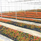 Estufa de vidro da Multi-Extensão agricultural para flores